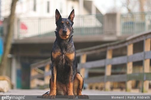 Top 5 des chiens de garde préférés des Français