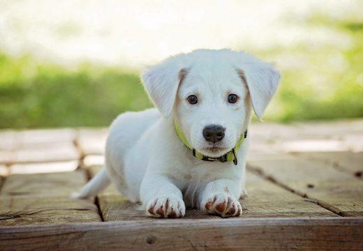 Quel est le chien le plus docile ?
